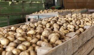 Čím to, že prodejcům brambory neklíčí? Využívajíchemii