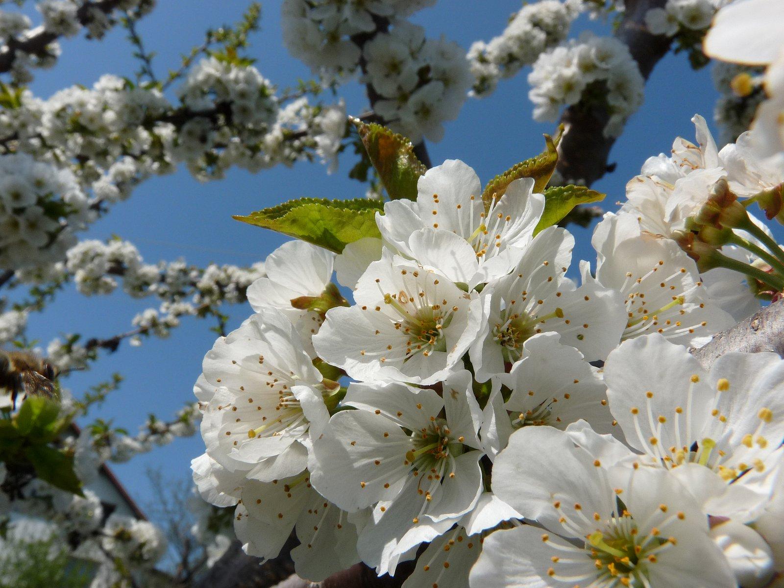 Květy jabloně