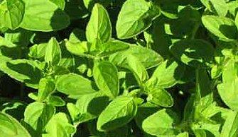 Zdrava-vyziva-co-jist-bylinky-plicnik-lekarsky